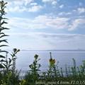 琵琶湖とマツヨイグサ