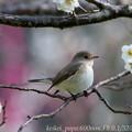 ニシオジロビタキ:白梅の枝で・・・